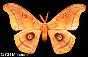 Picture of Antheraea polyphemus