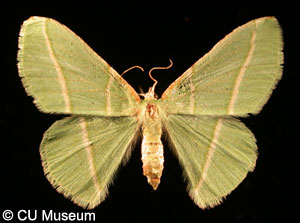 Picture of Dichorda rectaria