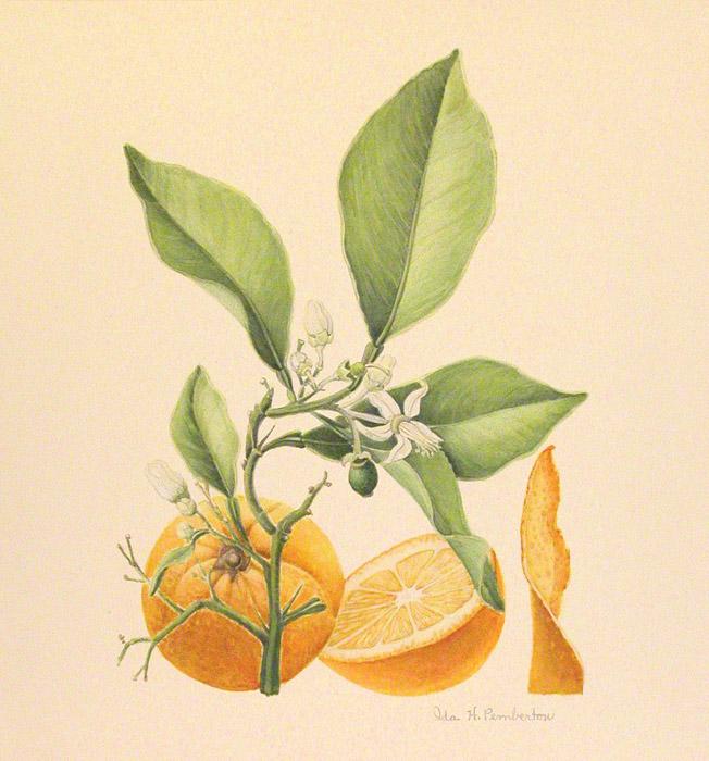 Sweet Orange - (Citrus aurantium var. sinensis) Pemberton