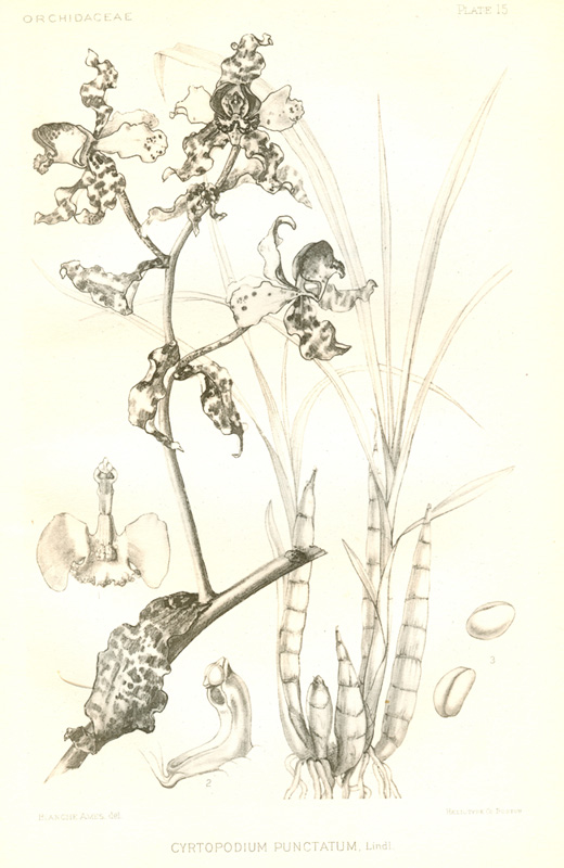 Orchid Scientific Drawing Detail of a Drawing of a