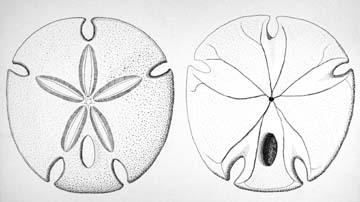 Sand Dollar Scientific Illustration